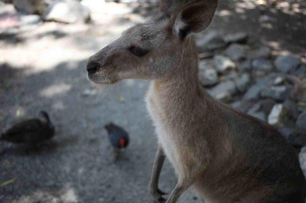 Port Douglas Kangaroo