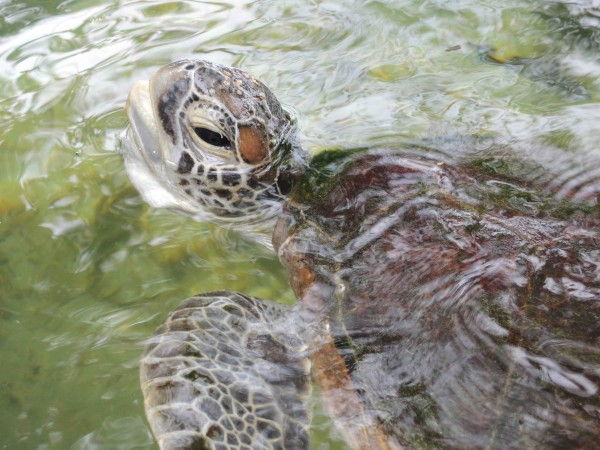 Gaya Island - Sea Turtle - Shrink