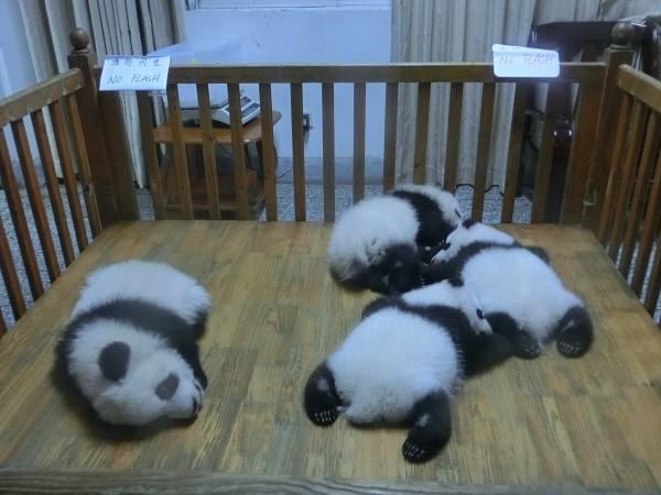 Chengdu Panda Nursery - shrink