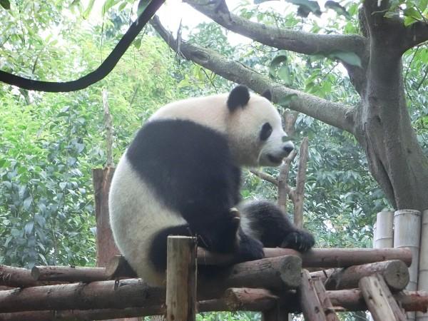 Panda sanctuary - shrink