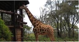 Zanzibar - Giraffe